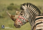 22_smart_print_advertisement_save_the_rhino_zebra